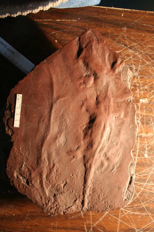 Impresión en arenisca de anfibios prehistóricos