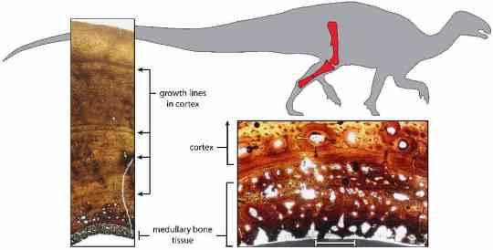 Anillos de crecimiento Tenontosaurio