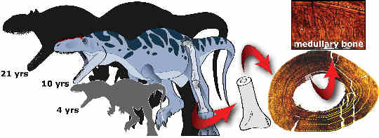 Hueso medular alosaurio