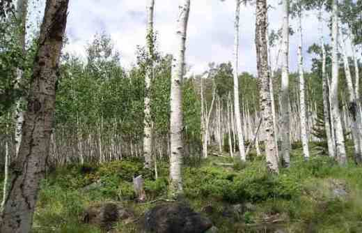 Pando quaking aspen clonal colony