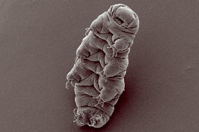 Tardigrado (Hypsibius dujardini). Micrografia por Bob Goldstein